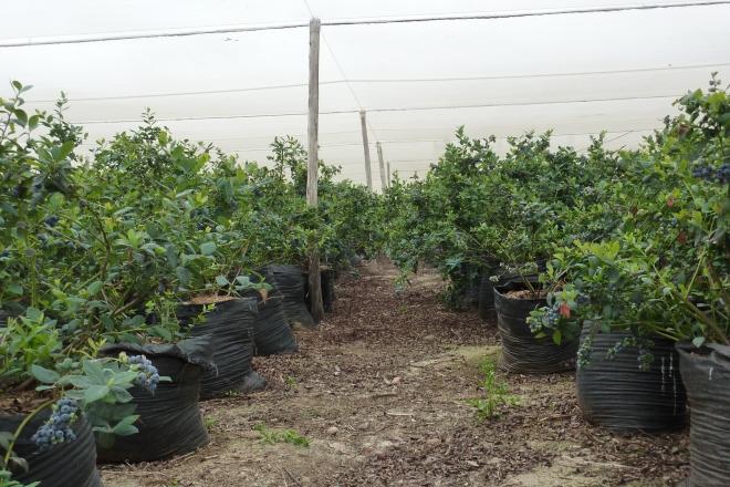 plantación de alta densidad en bolsas, una opción para los